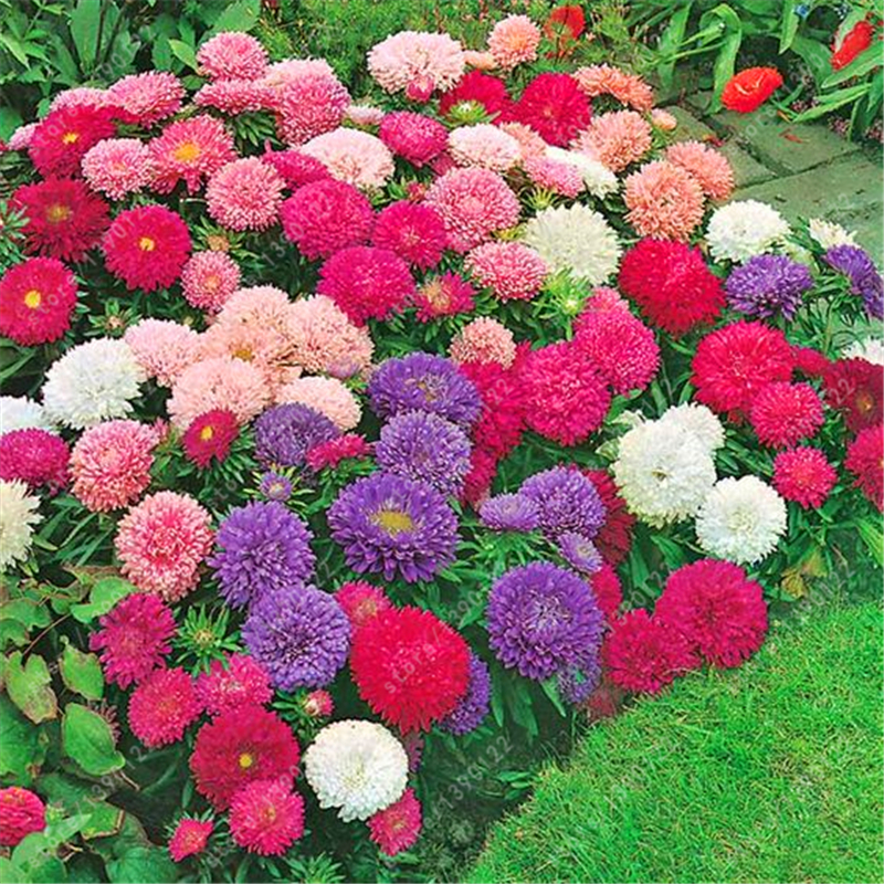 200 PCS BAG aster seeds aster flower bonsai flower seeds rainbow chrysanthemum seeds Perennial flowers home garden plant