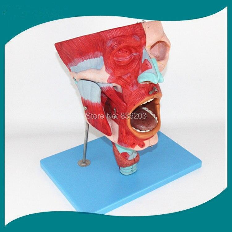 Human skeleton anatomical model  brain Nasal,Oral,Pharynx and Larynx Cavity Model vein viewer in trauma anatomia Exploded skull ben buchanan brain structure and circuitry in body dysmorphic disorder