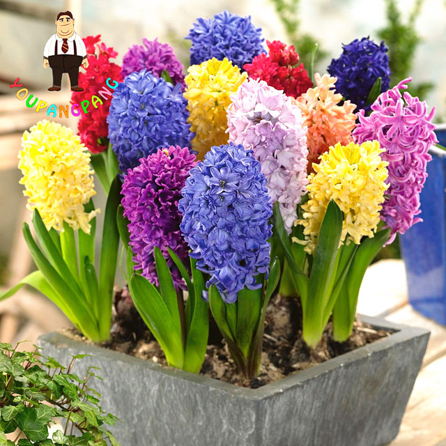 Sementes hyacinthus orientalis jacinto interior plantas - Jacinto planta interior ...