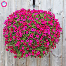 OFF!100 pcs True hanging petunia seeds melissa original color flower seeds perennial potted for home garden bonsai pot planting