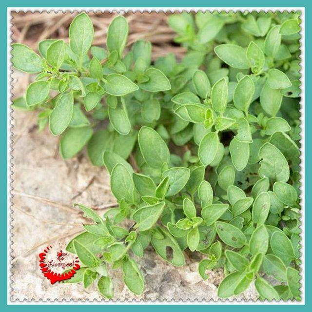 Oregano Herb Seeds  kitchen vegetable seeds