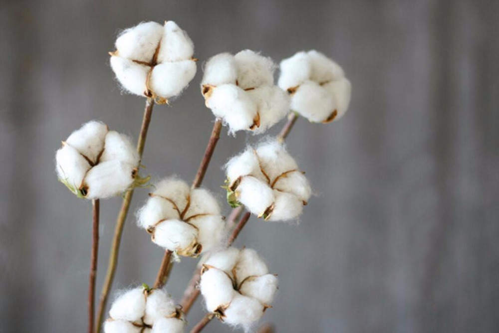 10pcs Natural White Preserved Cotton With Stems For Wedding Party ...