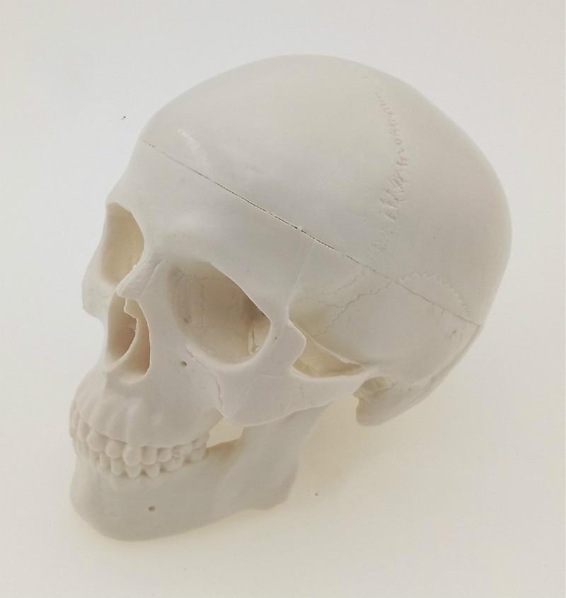Mini Schädel Menschlichen Anatomie Anatomisch Kopf Medizinischen ...