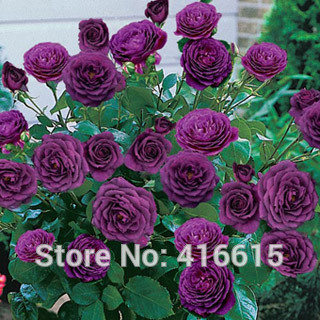 Best 100 Rose Ebb Tide Fragrance Seeds Cascading Landscape Planning Easy Grow Floribunda Bonsai Flower Garden Plants For