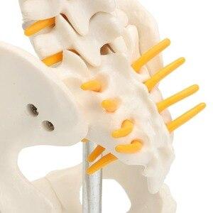 Image 3 - 골반 모델 45cm 인간의 척추 인간의 해부학 해부학 해골 용품 및 장비 의료 척추 칼럼 모델