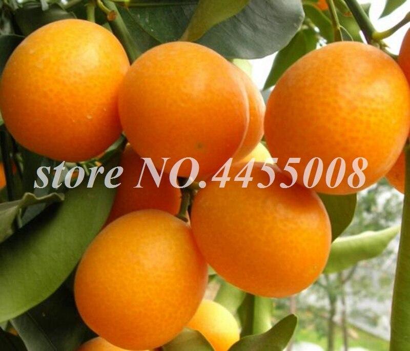 30 Pcs Hot Sale Kumquat Bonsai Orange Balcony Patio Potted Lots Fruit Tree Tasty Juicy Orange Plant For Home & Garden Planting
