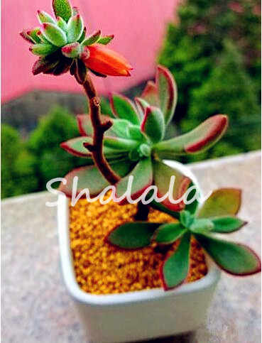 100 pcs Exotic Cactus bonsai Giapponese Rare Succulente piante da Fiore Coperta Plantas Perenne Fiori Fai Da Te Giardino Così Bella