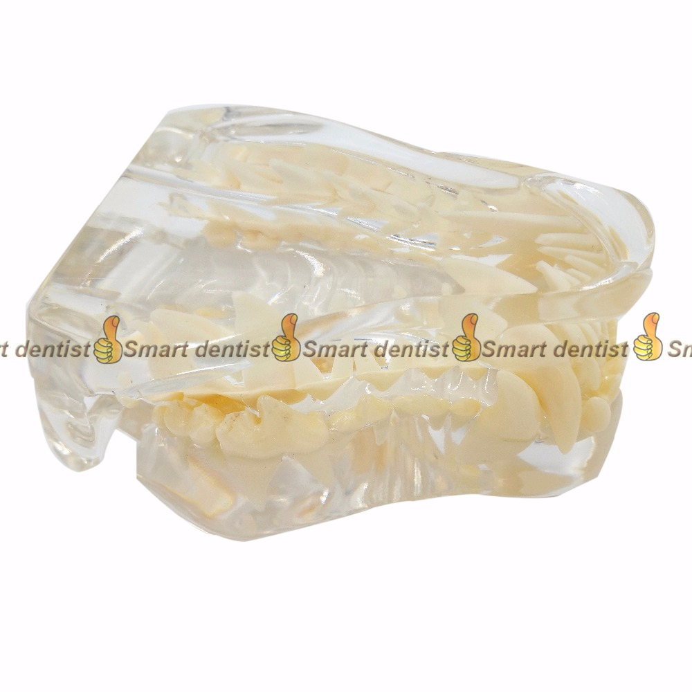High Quality 2017 new Dog tooth jaw model Veterinary Teaching Dog tooth transparent professional model 2017 dog dentition model the dog teeth skull jaw bone transparent solution planing teaching veterinary animal model specimens