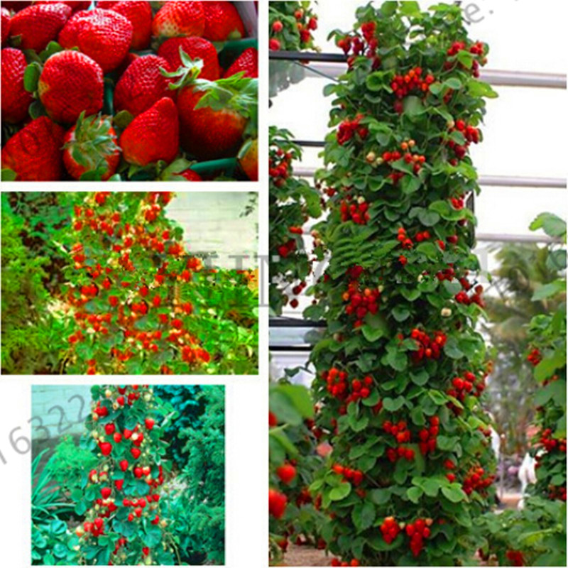 New Arrival!100pcs/bag rainbow strawberry seeds,giant strawberry,rare bonsai organic fru ...