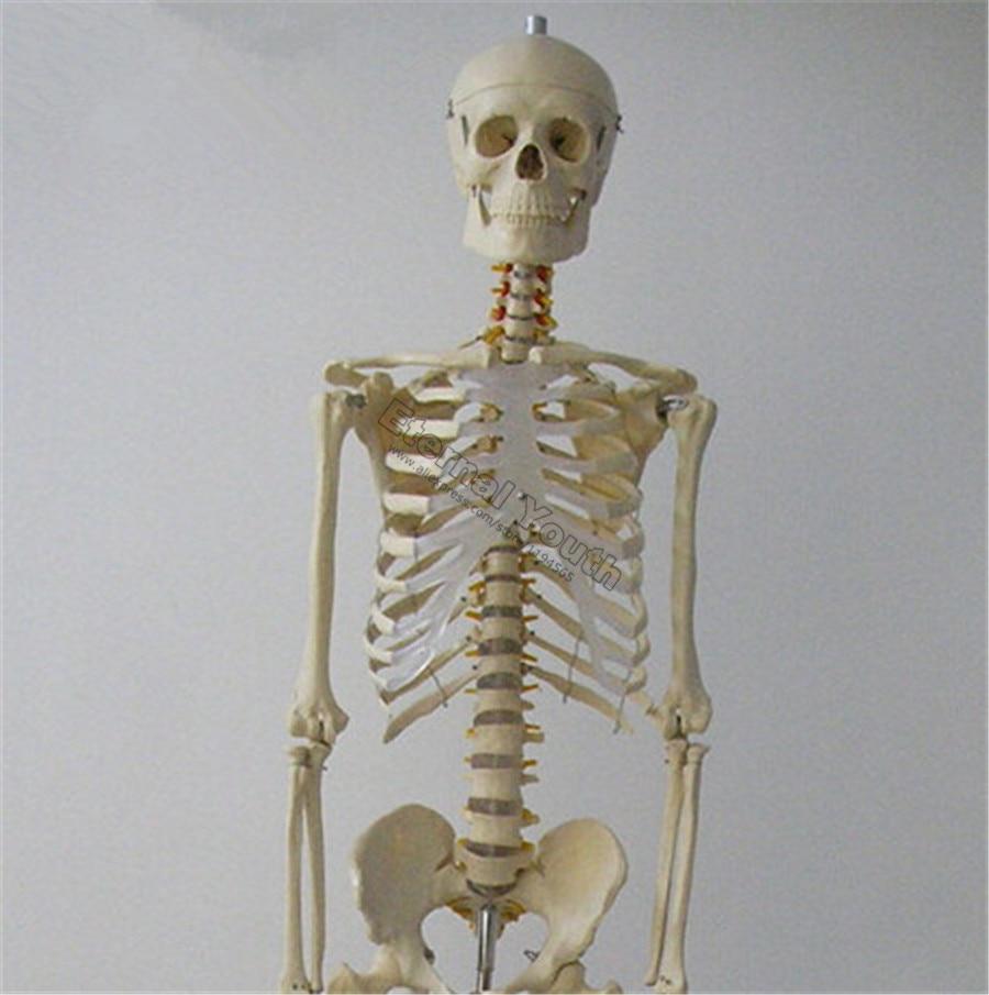 170 cm Menschliches Skelett Leben Größe Anatomisches Modell Medical ...
