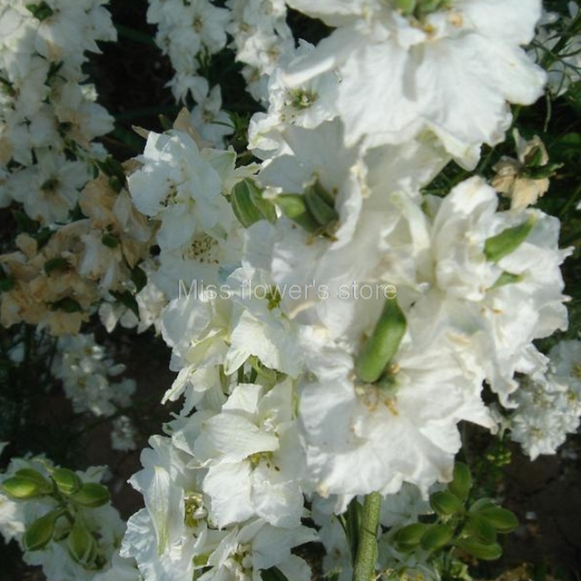 White delphinium seeds 30 seeds of each pack rocket consolida white delphinium seeds 30 seeds of each pack rocket consolida beautiful flower a285 mightylinksfo