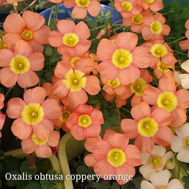Rare Oxalis Obtusa Coppery Orange Oxalis Flowers Bulbs For Garden Kalanchoe  Survival High Free Shipping