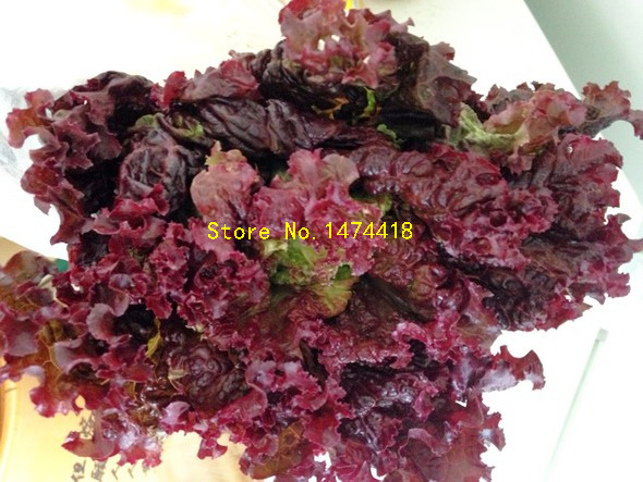 100 Seeds/pack Vegetable Seeds Coleus Garden Lettuce Seeds Good Taste Easy  To Grow DIY Home Garden In Bonsai From Home U0026 Garden On Aliexpress.com |  Alibaba ...
