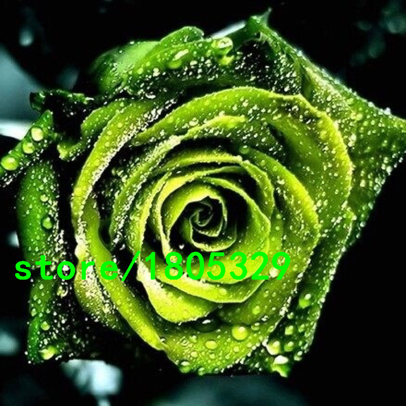 Details about 40 pcs Rare Green Rose Seed Flower Seeds For Your ...