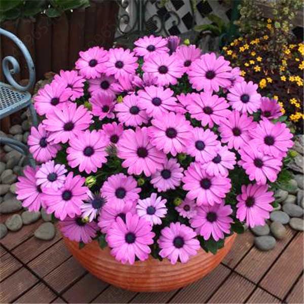 100 pçs/saco, de Olhos Azuis Africano Margarida flores plantas bonsai plante flores Osteospermum, A Natureza Em Vasos de plantas para jardim de casa