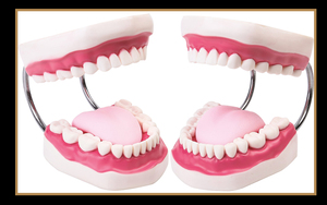 Image 5 - 6 פעמים שיניים שיניים למבוגרים דגם אוראלי מודלים שן עם לשון לגן ילדים ילד מוקדם הוראה מחקר אספקת שירותי בריאות