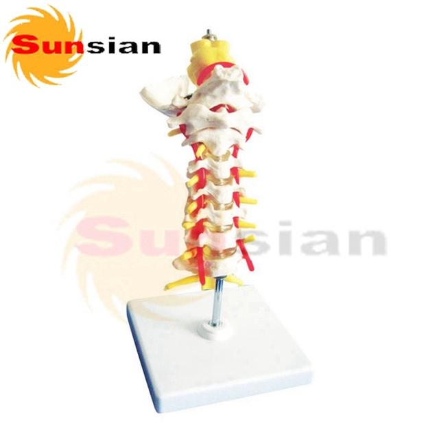 Modelo de Coluna Vertebral Cervical pescoço osso modelo, esqueleto humano modelo anatômico