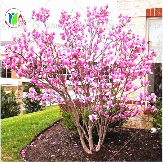 buy 30pcs bag magnolia seeds magnolia tree seeds magnolia flowers seeds for. Black Bedroom Furniture Sets. Home Design Ideas