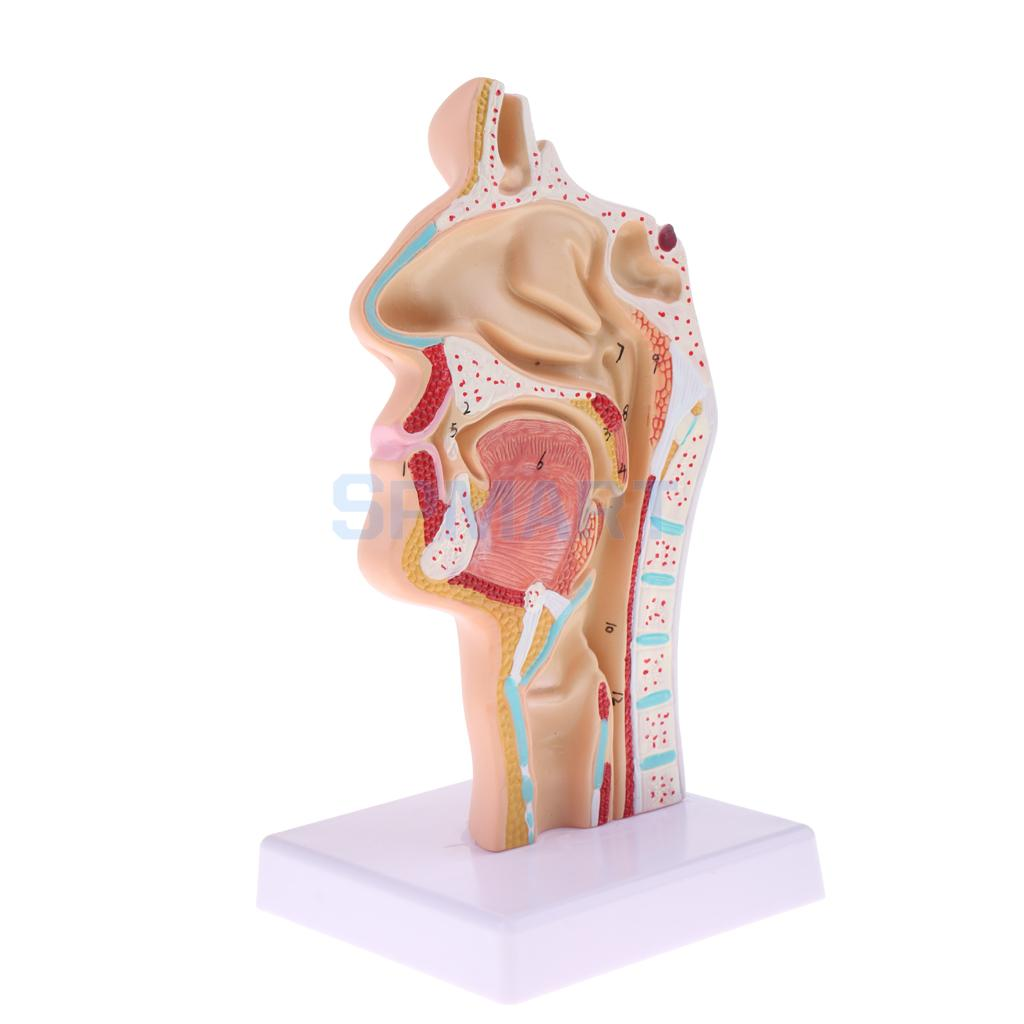 1:1 Human Nasal Oral Laryngopharyngeal Cavity Anatomy Model Medical ...