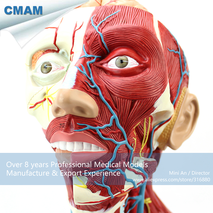 CMAM-MUSCLE16 Deep Anatomical Structure Model of Human Neck, Medical Science Educational Teaching Anatomical Models cmam dental26 teaching model of abscess excision in oral surgery medical science educational teaching anatomical models