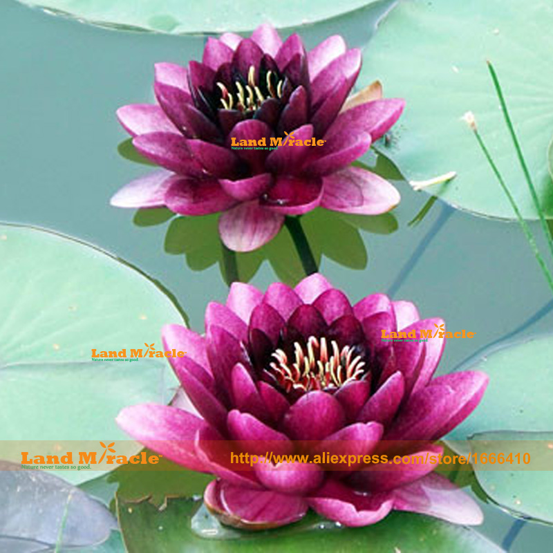 1PCS Flower Seeds Bowl Lotus Hydroponic Aquatic Plants Lotus Seeds Perennial Water Lily Mini Perennial Plant for home garden