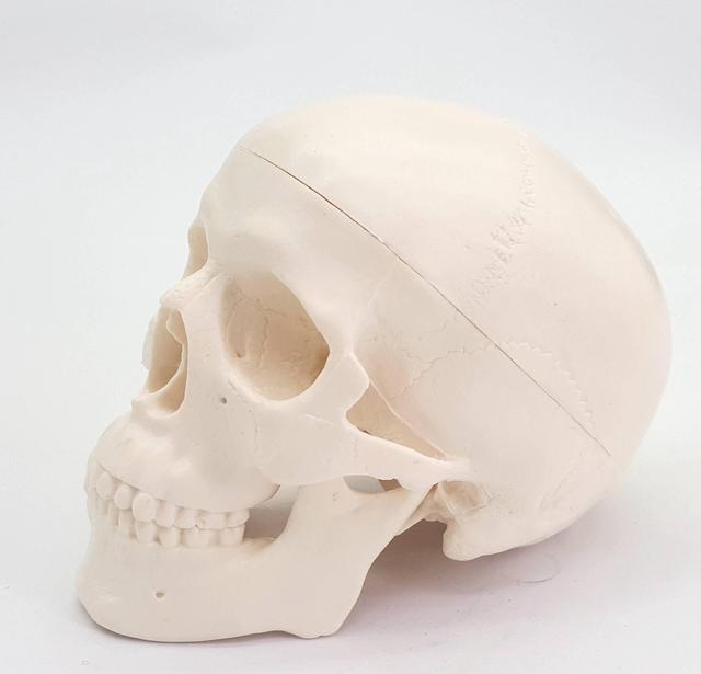 Nhựa PVC Mini Hộp Sọ Của Con Người Về Giải Phẫu Học Giải Phẫu Đầu Y Tế Mô Hình Tiện Lợi Giá Rẻ Và Mỹ
