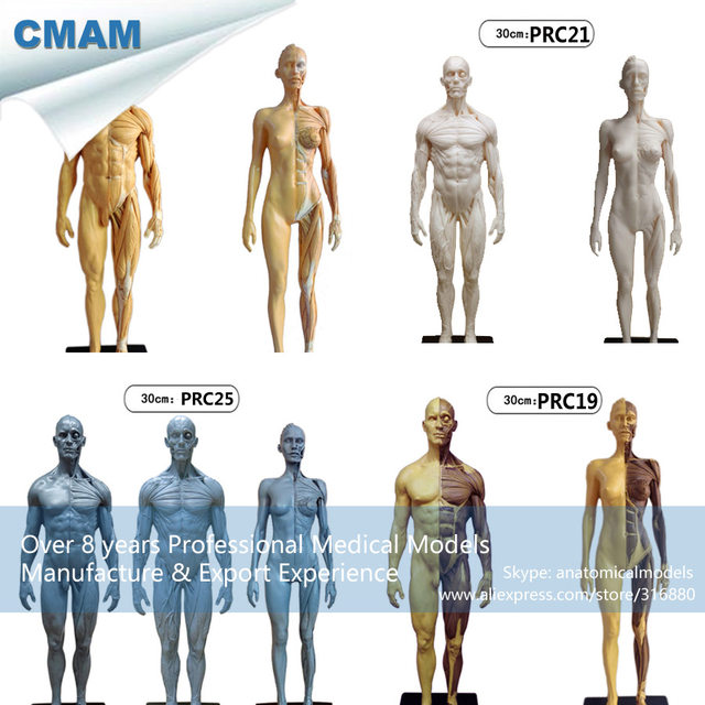 Online Shop Cmam Prc26 16 Antique Colored Pu Human Body Anatomy