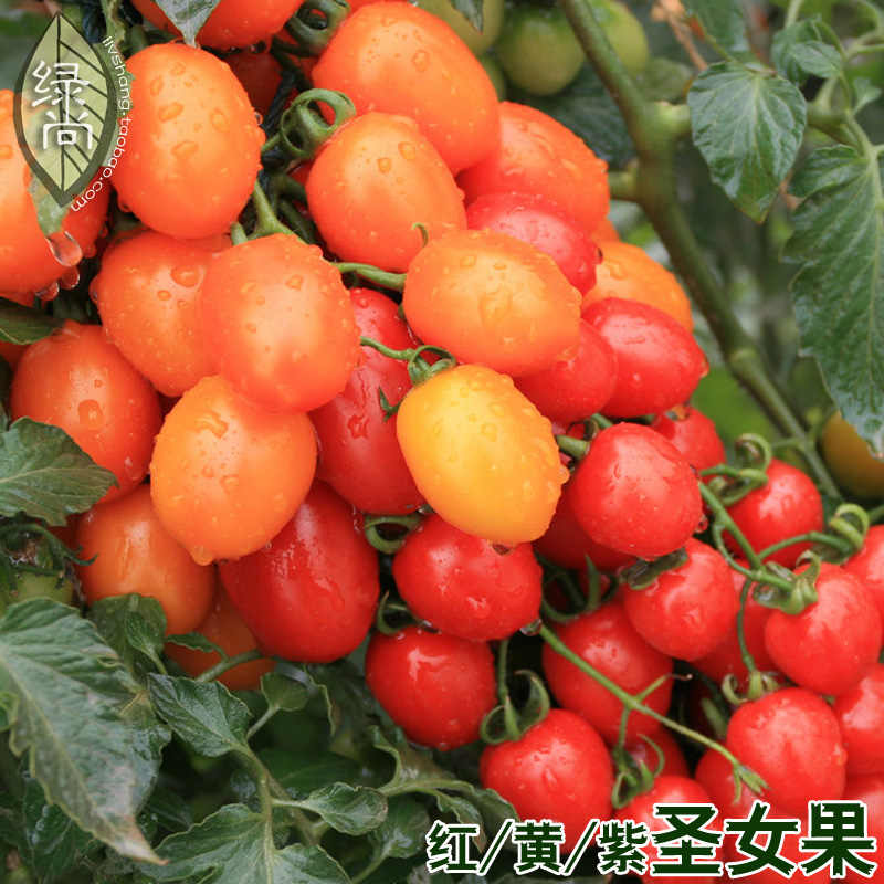 Red And Yellow Purple Cherry Fruit Cherry Tomatoes Tomatoes Garden Balcony Potted Fruits And Vegetables bonsai 200pcs