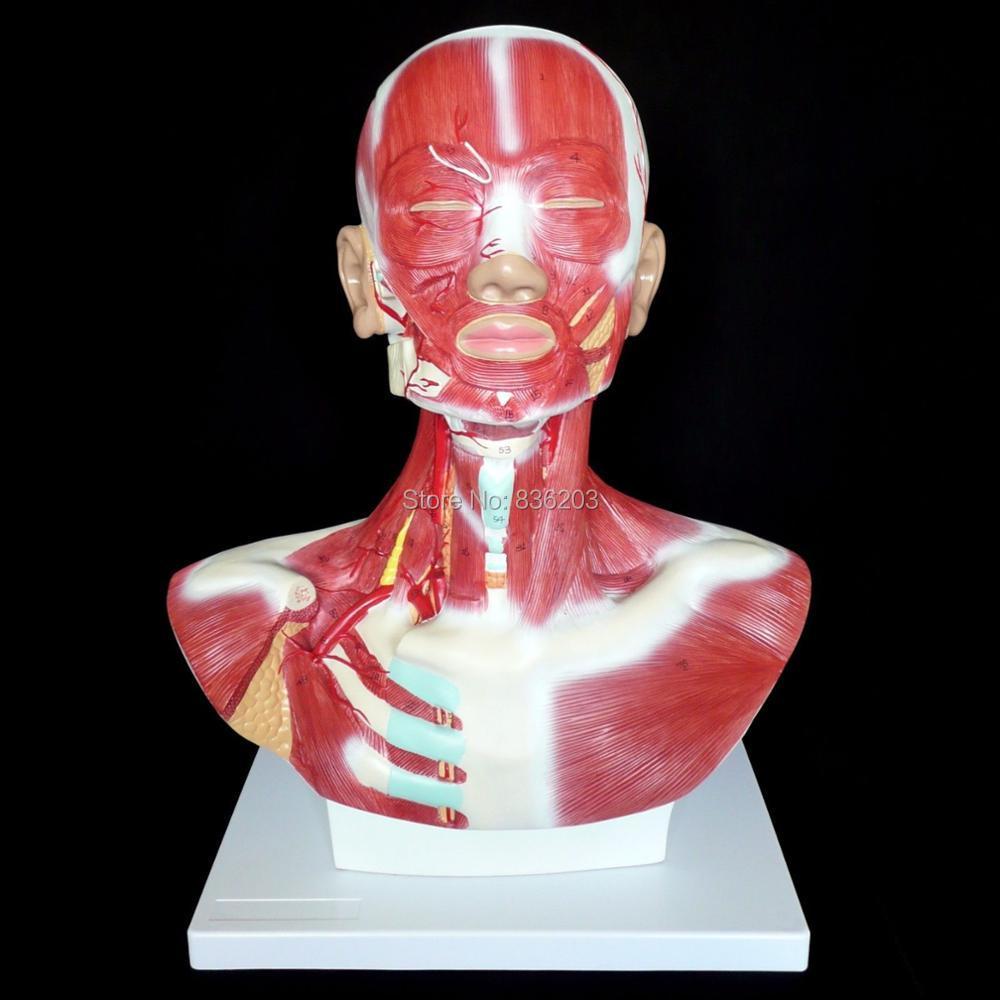 Humano anterior Masajeadores de cuello músculo superficial vasos ...