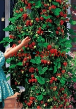300Pcs chwy Red Climbing Strawberry Seeds, Garden Fruit Plant, Sweet And Delicious(China)