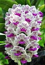 Cymbidium выбрать, орхидеи, цветов, семена, чтобы завод бонсай сад семена дома