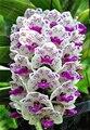 100 unids Cymbidium orquídea, Cymbidium, semillas de bonsai semillas de flores, 22 colores para elegir, de plantas para el hogar jardín