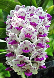 100pcs cymbidium orchid cymbidium seeds bonsai flower seeds 22 colours to choose plant for home garden.jpg 250x250