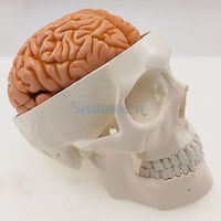 Life Size Human Skull 3 Parts With Brain 8 Parts Numbered Model for Medical Study