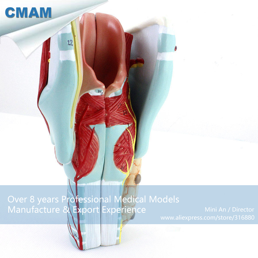 12505 CMAM-THROAT01 Life-size Sectioned Larynx internal Structures Anatomical Model, 2 Times Enlarged human larynx model advanced anatomical larynx model