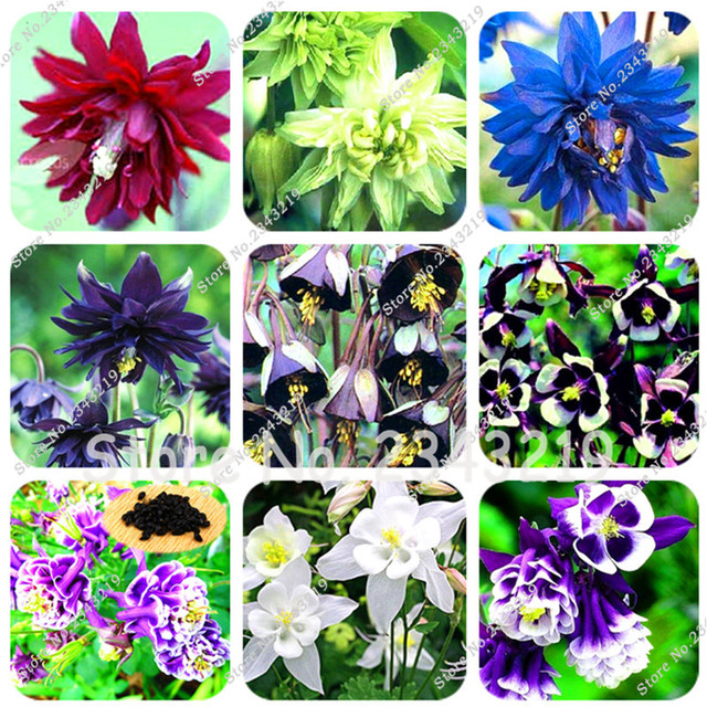 100pcsbag Mixed Aquilegia Columbineseedslong Bloom Season Hardy