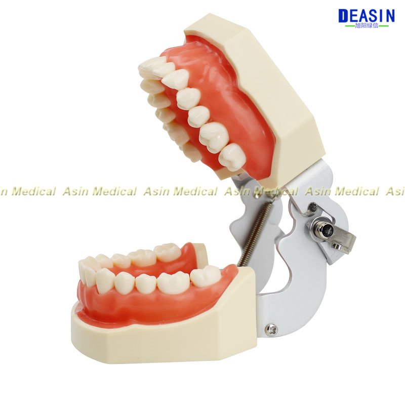 Standard deciduous teeth model 28pcs tooth Soft Gum teaching model dentist student learning with screw driver dentist patient student learning model orthodontists model with metal brackets irregular tooth ortho metal