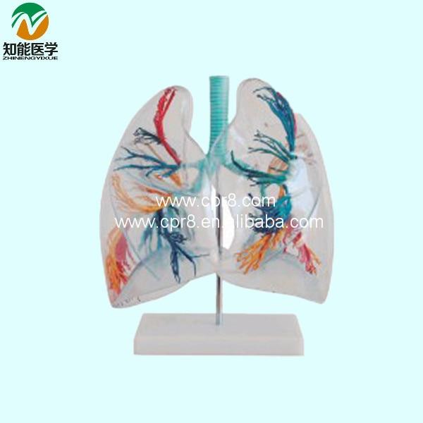 ФОТО Transparent lung Segment BIX-A1058 WBW233