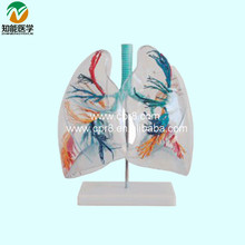 Transparent lung Segment BIX-A1058 WBW233