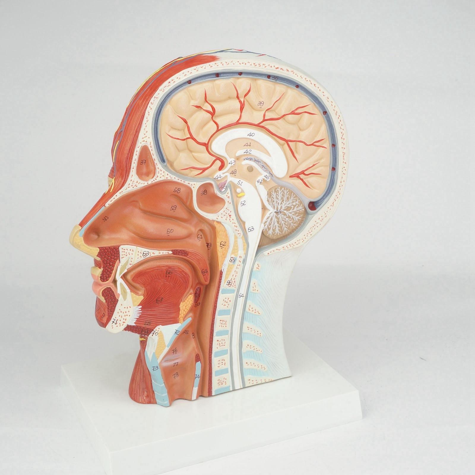 Median Abschnitt von Menschlichen Kopf und Hals Anatomisches Modell ...
