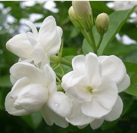 10pcs/bag white jasmine flower seeds/blooming plants DIY home garden free shipping