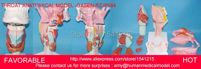HUMAN ANATOMY MEDICAL MODEL,MOUTH THROAT MODEL,HUMAN ORGANS MODEL THROAT ANATOMY WITH TONGUE DENTITION MODEL -GASEN-RZJP084 tongue model tongue muscle anatomical model human anatomical throat tongue thyroid anatomy medical teaching model gasen rzjp031