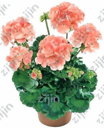 أقل سعر! 100 قطعة/الوحدة إبرة الراعي النادرة ، Pelargonium ، إبرة الراعي زهرة معمرة فلوريس بونساي النبات المنزل والحديقة لتقوم بها بنفسك النباتات