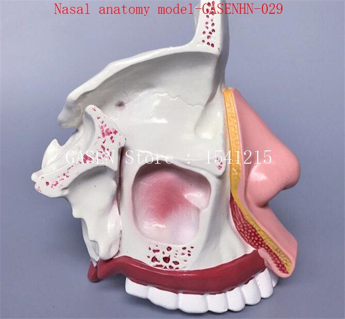 Department of ENT Nose model internal structure Facial anatomy model medicine Nasal anatomy model-GASENHN-029 cmam throat05 human ent physiology nasal cross section anatomy model of nose throat
