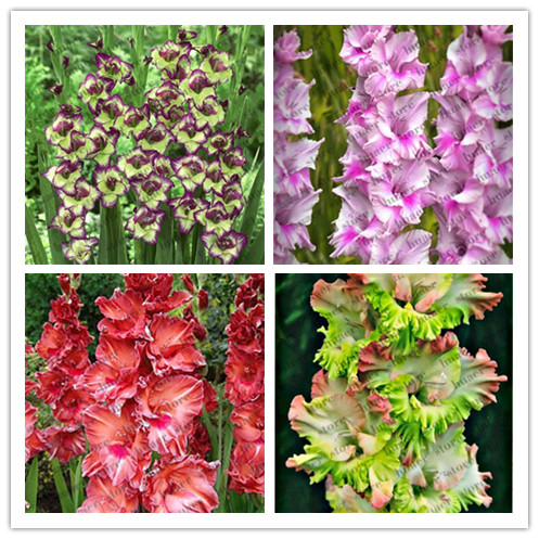 200 Pcs Rare Striped Gladiolus Sword Lily Garden Plant Flowers Orchid Gladiolus Bonsai Plant Gandavensis High Survival Rate