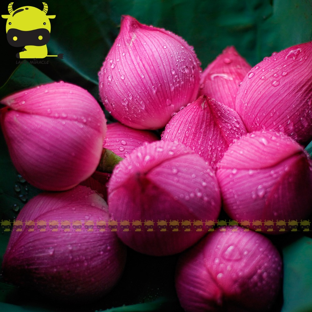 Lotus flower japanese promotion shop for promotional lotus flower japanese red lantern lotus flower seed 1 seedpack perennial aquatic plants pink nelumbo nucifera dhlflorist Choice Image