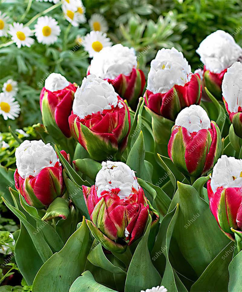 20 Pcs di Alta Quatity Fiore Raro Ice Cream Tulipano Bonsai Piante Colorate Non Bulbi di Fiori, bonsai Balcone Fiore per la Casa Impianto