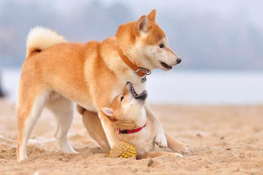 Anjing Mami Bayi Bermain Natures Hewan Poster Cetak Sutra Kain Seni Dinding Dekor 12X18 Inci Kustom Cetak