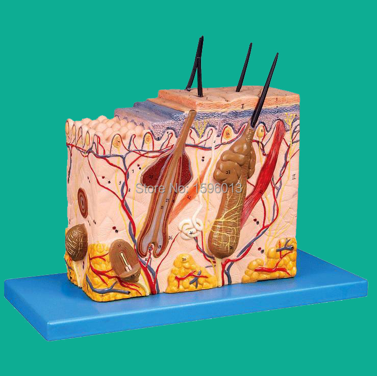 Skin Block Model 26 points displayed, Human Skin Anatomical Model,skin model human skin section model human skin anatomical model skin layers plane model