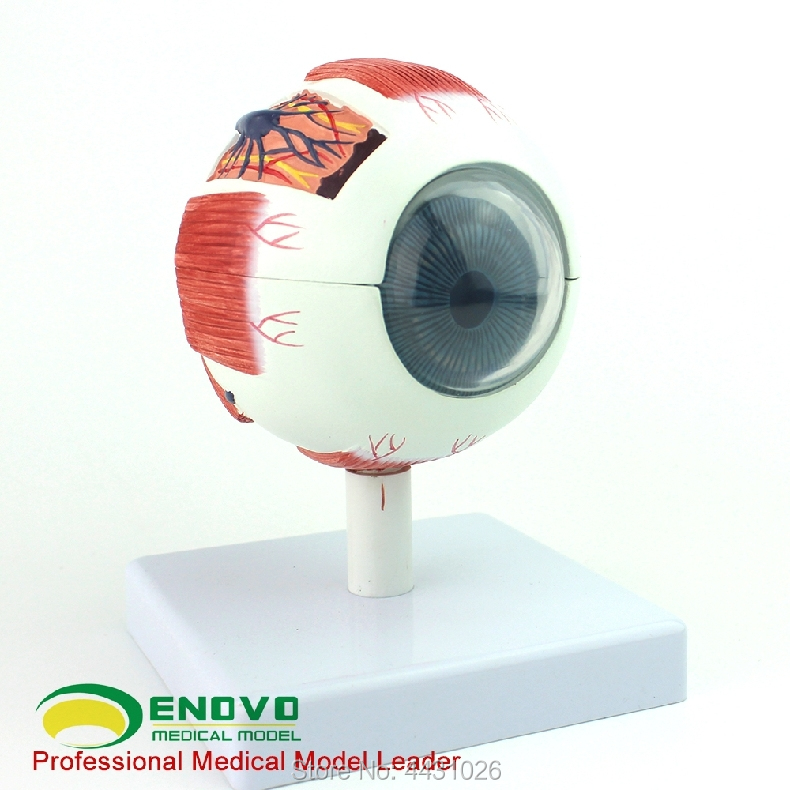 ENOVO Professional edition medical human eye anatomy model eye anatomical structure of the eye structure human anatomical disease of the brain anatomy medical model professional